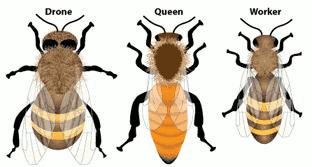 drone-queen-worker
