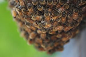 Bee Swarm - Beekeepers Association of the ACT can relocate your bees