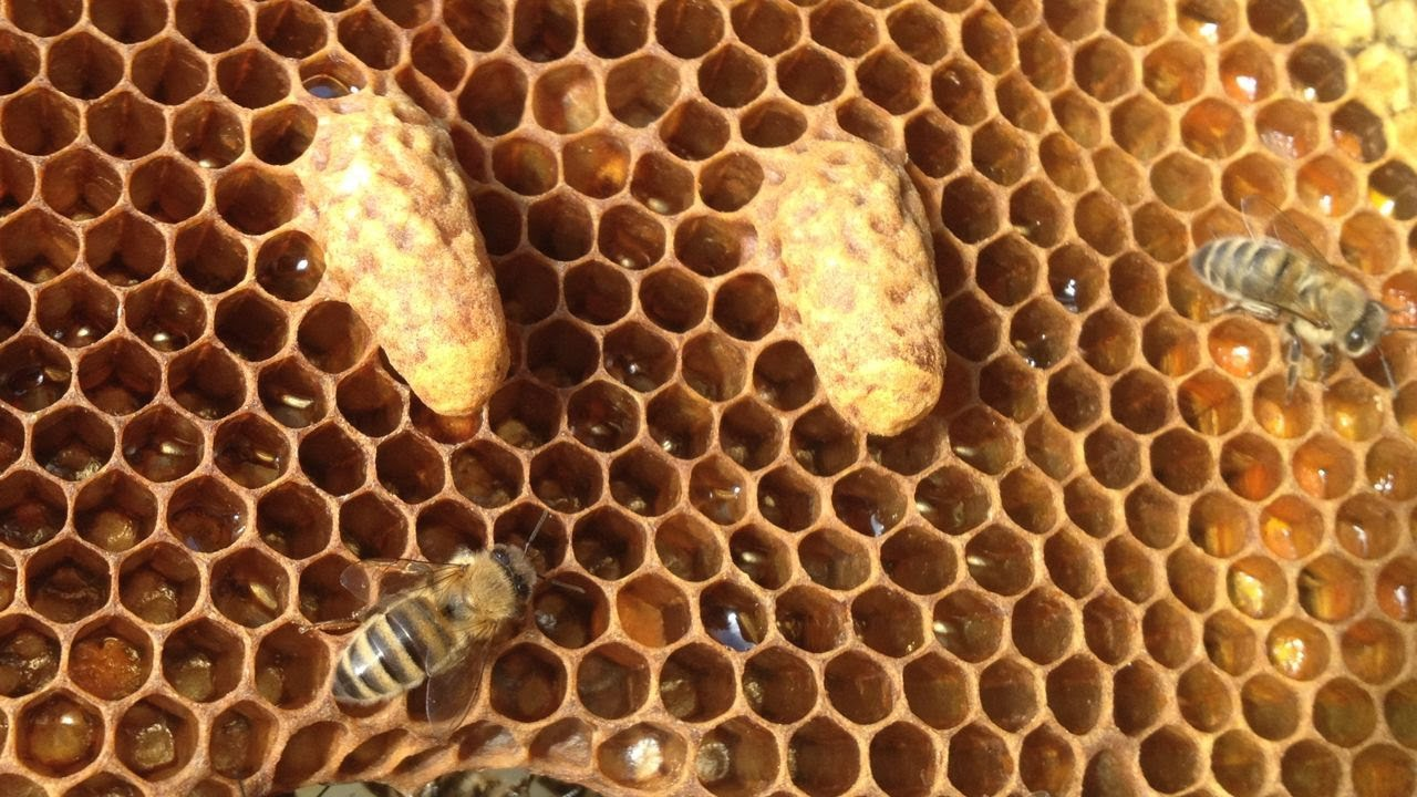 Grafting Into Queen Starting Cells Act Beekeepers Association Beekeeping Wiring Board