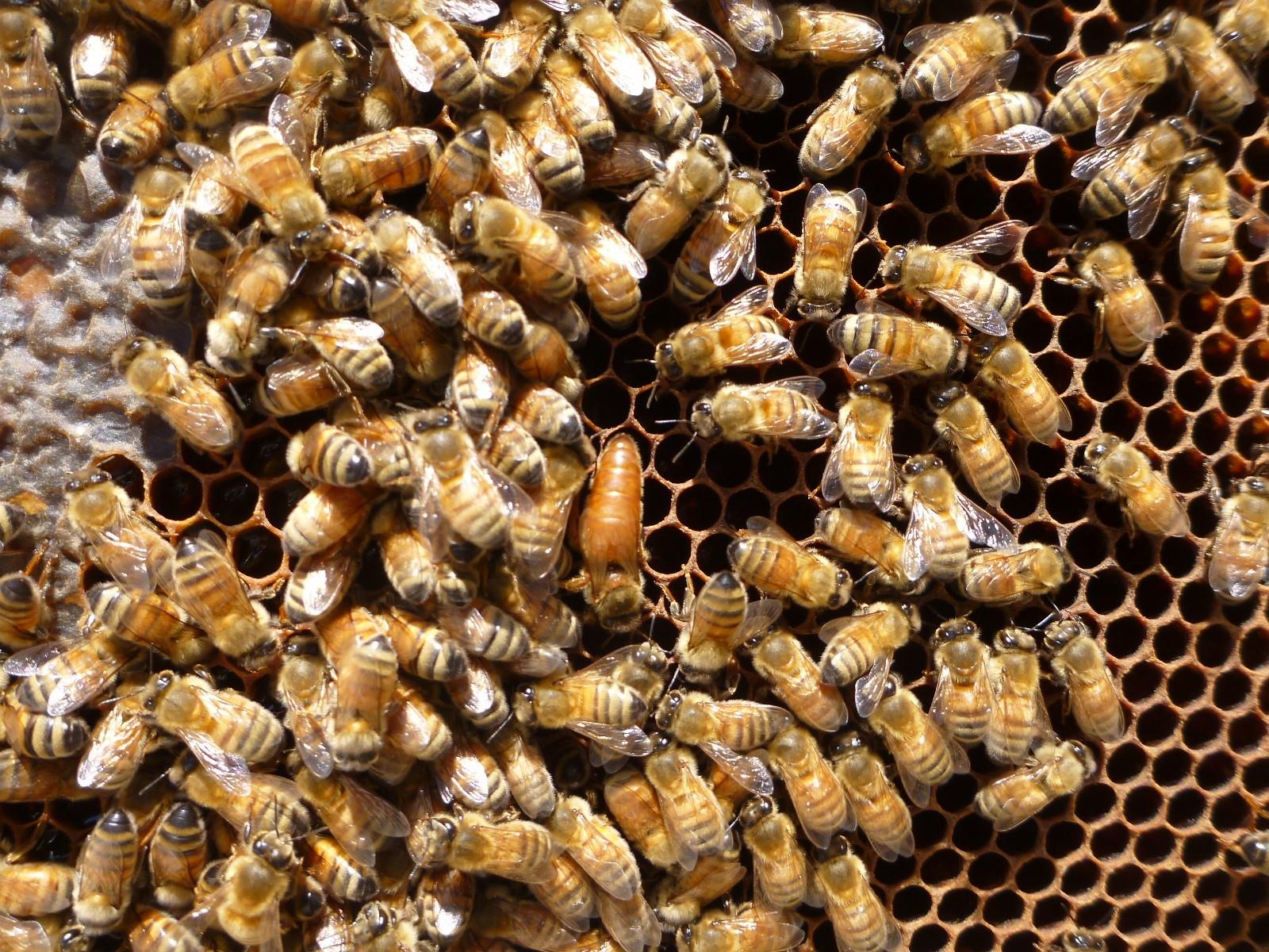 Queen Bee Strip