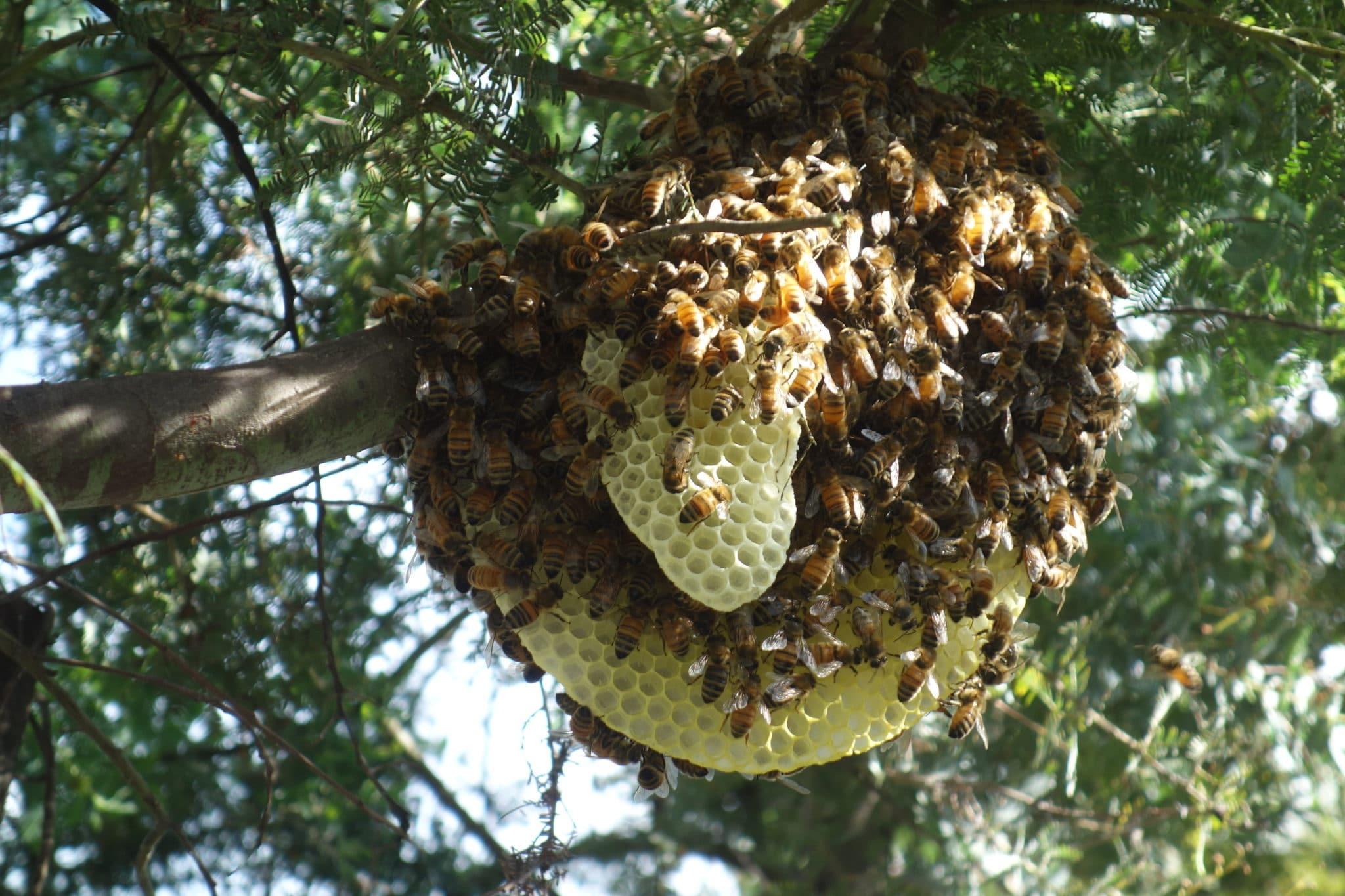 Waniassa swarm with comb 28 October 2016