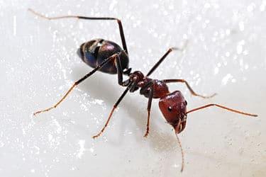 375px-Meat_eater_ant_feeding_on_honey02