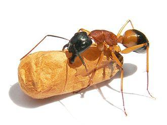 Black-headed_sugar_ant