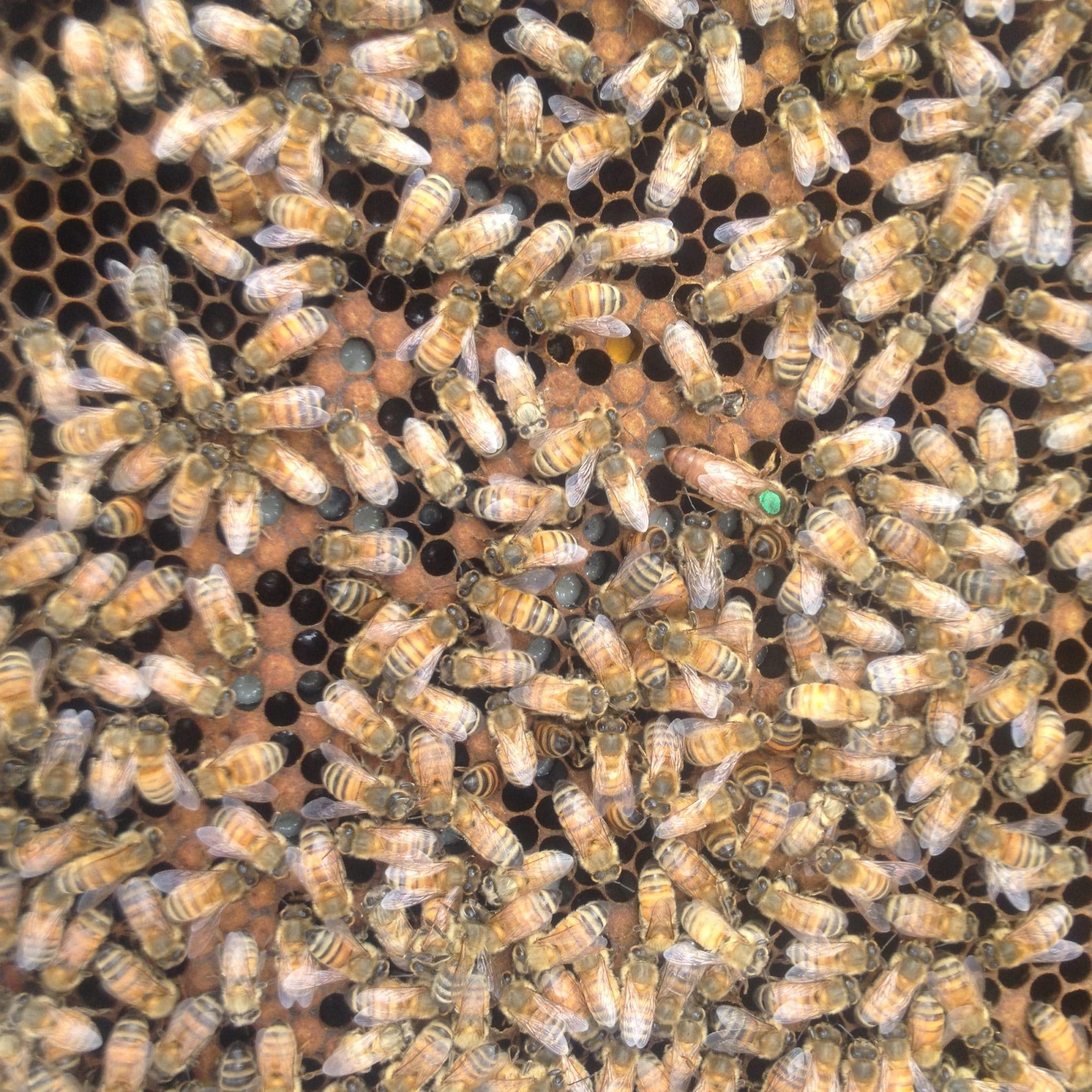 Marked queens in tractable hives are very easy to find JWA 12 October 2016 image 3