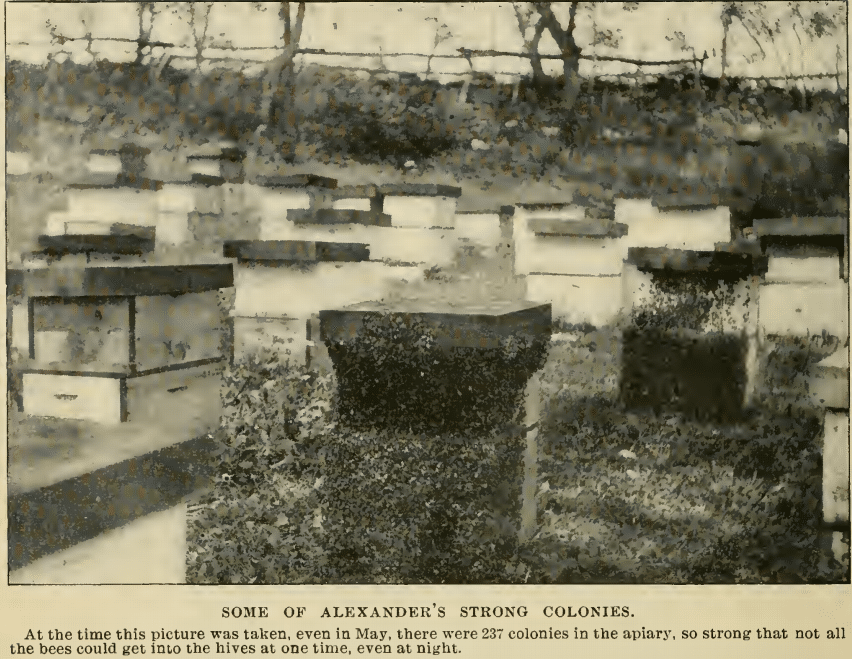 Strong-hives-in-Alexanders-apiary-1907