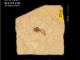 Apis henshawi (Henshaw's Honey Bee) from the Oligocene Creské Stredhori Mountains, Czech Republic