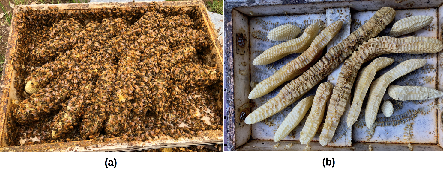 Figure-20-Burr-comb-in-migratory-lid
